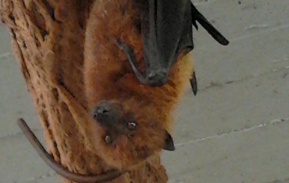 Kaloň rodriguezský