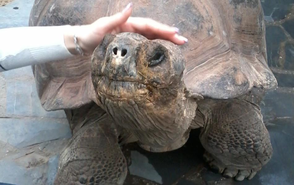 Želva obrovská (Dipsochelys dussumieri)