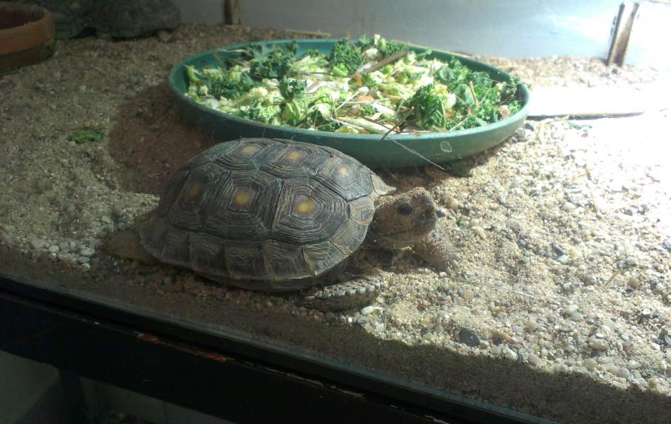 Želva texaská (Gopherus berlandieri)