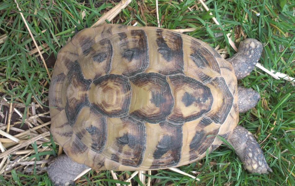 samice T.h.b karapax