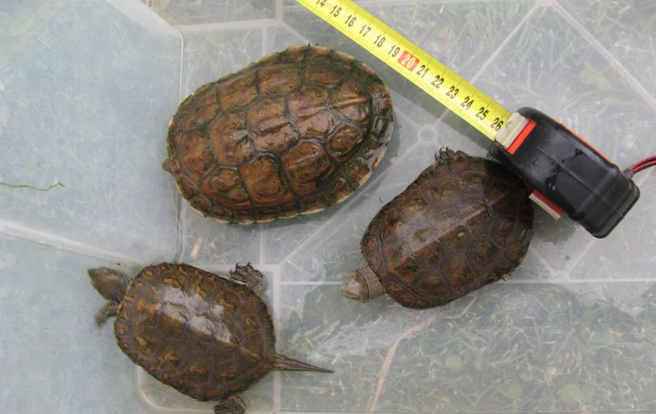 2,1- dva samci a jedna samice karapax
