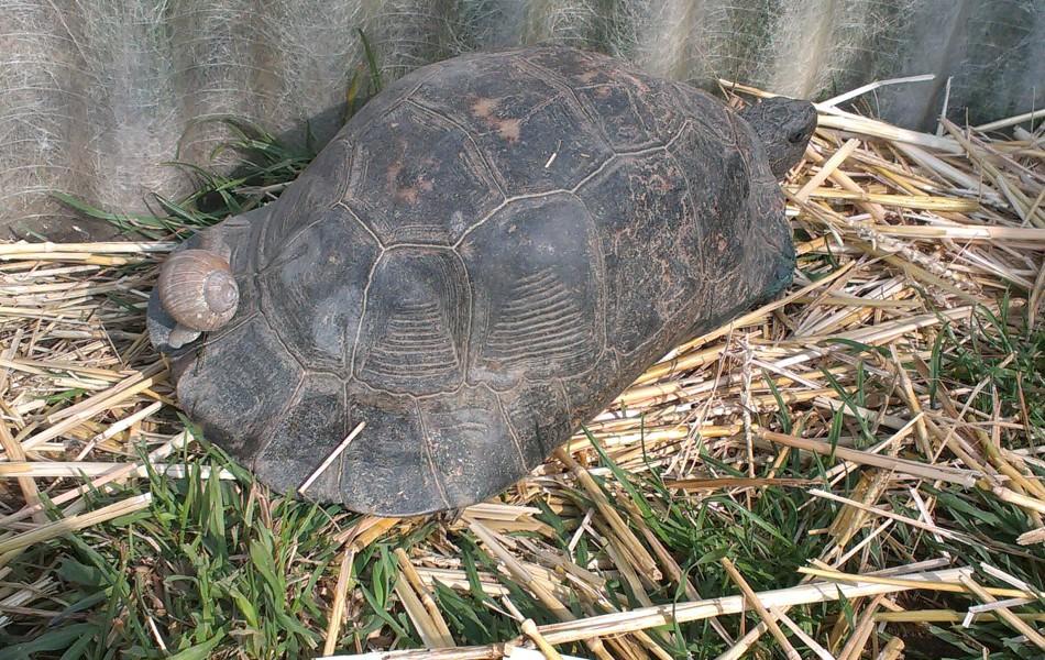 Dospělá samice T. marginata